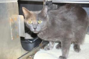 "Adult Female Cat - Domestic Short Hair: ""Isabelle"""