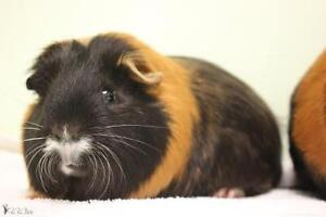"""Young Male Small & Furry - Guinea Pig: """"Jackson"""""""