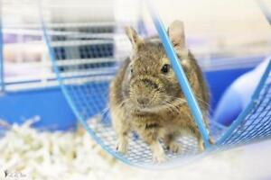 """Young Female Small & Furry - Degu: """"Squill"""""""