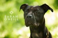 "Young Female Dog - Pit Bull Terrier: ""Salem"""