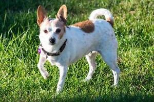 "Adult Female Dog - Chihuahua: ""Almond"""