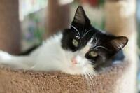 "Adult Male Cat - Domestic Short Hair-black and white: ""Elliot"""