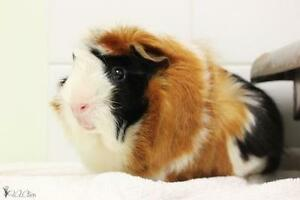 """Young Male Small & Furry - Guinea Pig: """"Pacha"""""""