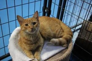 """Young Female Cat - Domestic Short Hair: """"Clementine"""""""