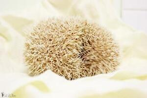 """Young Male Small & Furry - Hedgehog: """"Thor"""""""