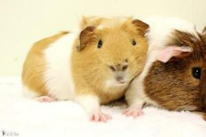 "Baby Male Small & Furry - Guinea Pig: ""Timon"""