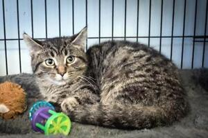 "Young Male Cat - Tabby: ""Maxwell"""