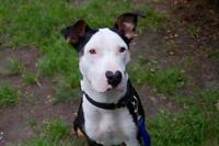"Young Male Dog - Bull Terrier: ""Corazon"""