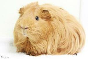 "Baby Male Small & Furry - Guinea Pig: ""Stewart"""