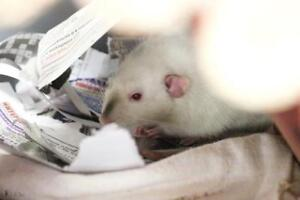 """Young Male Small & Furry - Rat: """"Goofy"""""""