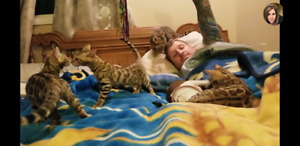 Top quality Bengal kittens; show quality!