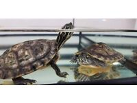 2 TERRAPINS + 21 LITRE TANK + UV LIGHT + EXO TERRA FILTER AND HEATER + FOOD + MAGNETIC BASKING AREA