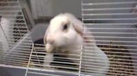 """Young Male Rabbit - Lop Eared: """"Lapins"""""""