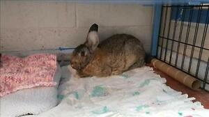 """Young Male Rabbit - Flemish Giant: """"Spruce"""""""