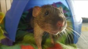 "Baby Male Small & Furry - Rat: ""Frank"""