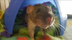 """Baby Male Small & Furry - Rat: """"Frank"""""""