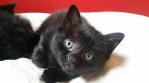 "Young Male Cat - Domestic Short Hair-black: ""Blane"""