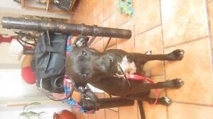 Young Female  - Black Labrador Retriever-Pit Bull Terrier