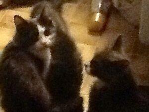 Ragdoll Russian Blue Kittens in Tumbler Ridge!
