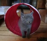 "Baby Male Cat - Domestic Short Hair-gray: ""Rufus"""