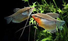 PEARL GOURAMI TROPICAL FISH