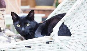 "Young Male Cat - Domestic Short Hair-black: ""Twitter 2"""