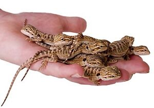 Looking for a baby bearded dragon