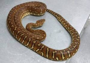 Pythons for Sale Direk Salisbury Area Preview