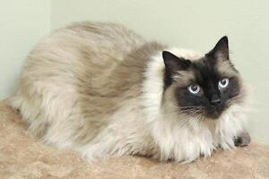 """Adult Male Cat - Domestic Short Hair: """"Rowan"""""""