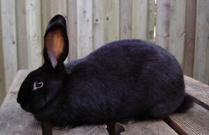 LF : a couple unrelated female Flemish Giant bunnies