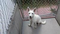 "Young Female Dog - White German Shepherd: ""Liza"""