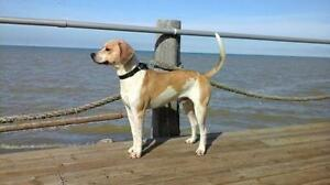 """Young Male Dog - Coonhound: """"Ridge"""""""
