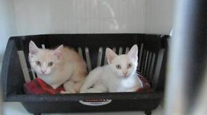 """Young Male Cat - Domestic Medium Hair: """"Monty"""""""