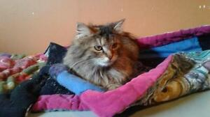 "Adult Female Cat - Domestic Long Hair: ""Lia"""