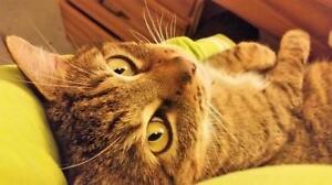"""Adult Male Cat - Domestic Short Hair: """"Malcolm"""""""