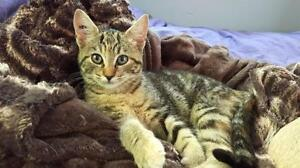 """Young Female Cat - Domestic Short Hair - brown: """"Maxine"""""""