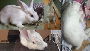 "Young Male Rabbit - New Zealand: ""Binky"""