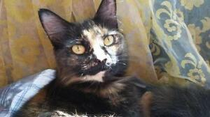 "Young Female Cat - Domestic Short Hair: ""Jade"" Kawartha Lakes Peterborough Area image 3"