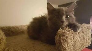 "Baby Male Cat - Domestic Medium Hair: ""Luster"""