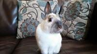 "Adult Male Rabbit - Dwarf-Bunny Rabbit: ""Pippin"""