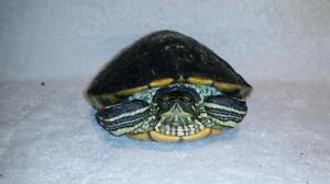 """Young Female Scales, Fins & Other - Turtle: """"Mercy"""""""