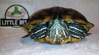"""Adult Male Scales, Fins & Other - Red-eared Slider: """"Krusty"""""""