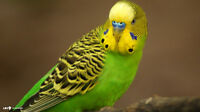 Lost male green/yellow budgie