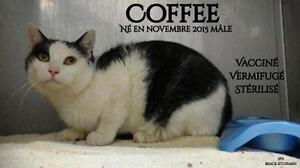 """Young Male Cat - Domestic Short Hair-black and white: """"Coffee"""""""