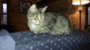 "Adult Female Cat - Tabby - Grey: ""Kristi"""