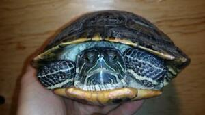 """Adult Female Scales, Fins & Other - Turtle: """"Michael Angelo"""""""