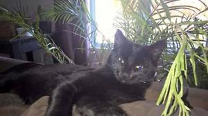 """Young Male Cat - Domestic Short Hair: """"Abel"""" West Island Greater Montréal image 1"""