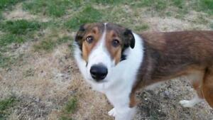 "Young Male Dog - Collie: ""Hale"""