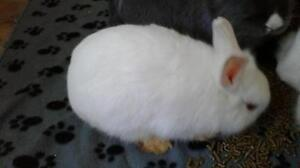 "Young Female Rabbit - Dwarf: ""Sully"""