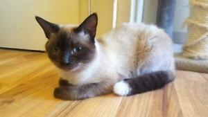 "Young Male Cat - Siamese: ""Essex"""